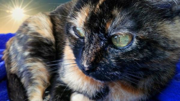 Gata carey con colores muy marcados por el azul, hermosos ojos verdes. Está acostada y al fondo está el sol.